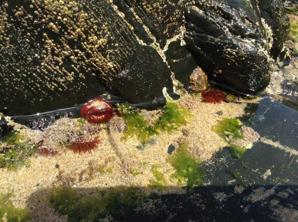 anemone tidal pool at Praia Esteveira