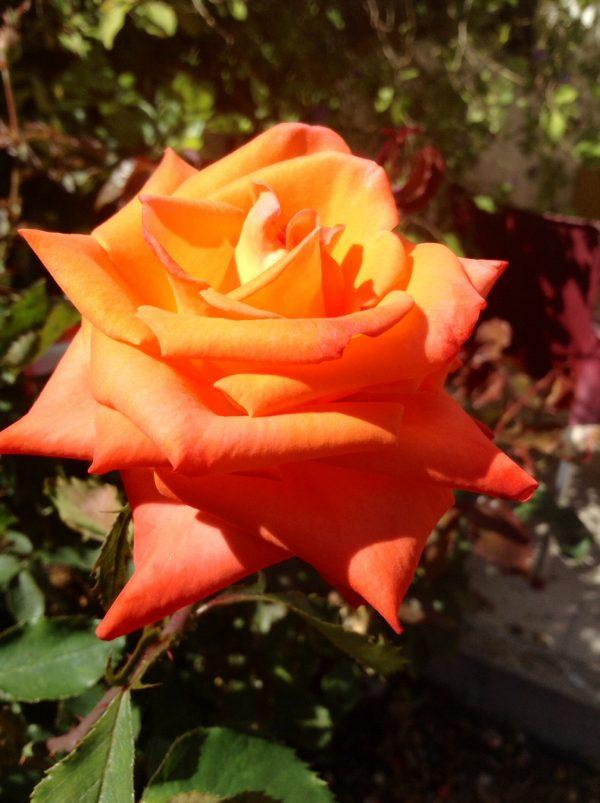 rose in our garden, Zambujeira do Mar