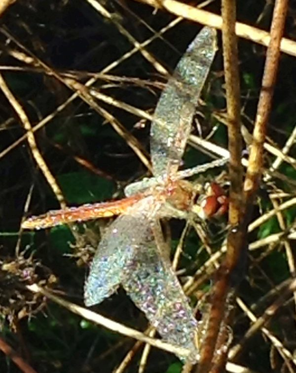 one of our graceful dragonflies drying off the morning dew